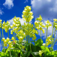 Spring Cowslips