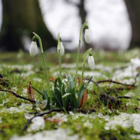 February Poem Snowdrops