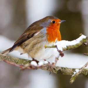 The North Wind Doth Blow - Robin