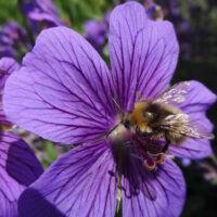 Sweet July - bumble bee purple flowers