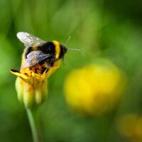 Bumble Bee June Poem William Henry Davies